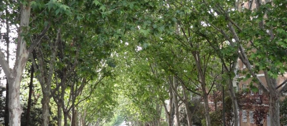 arboles platano madrid