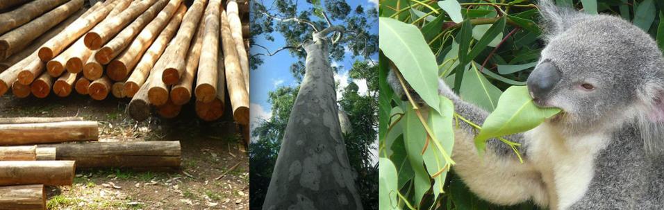 eucalipto-madera-y-usos