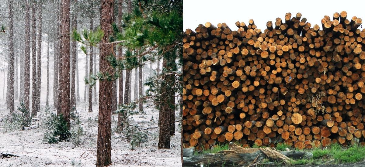 madera de pino en cataluña