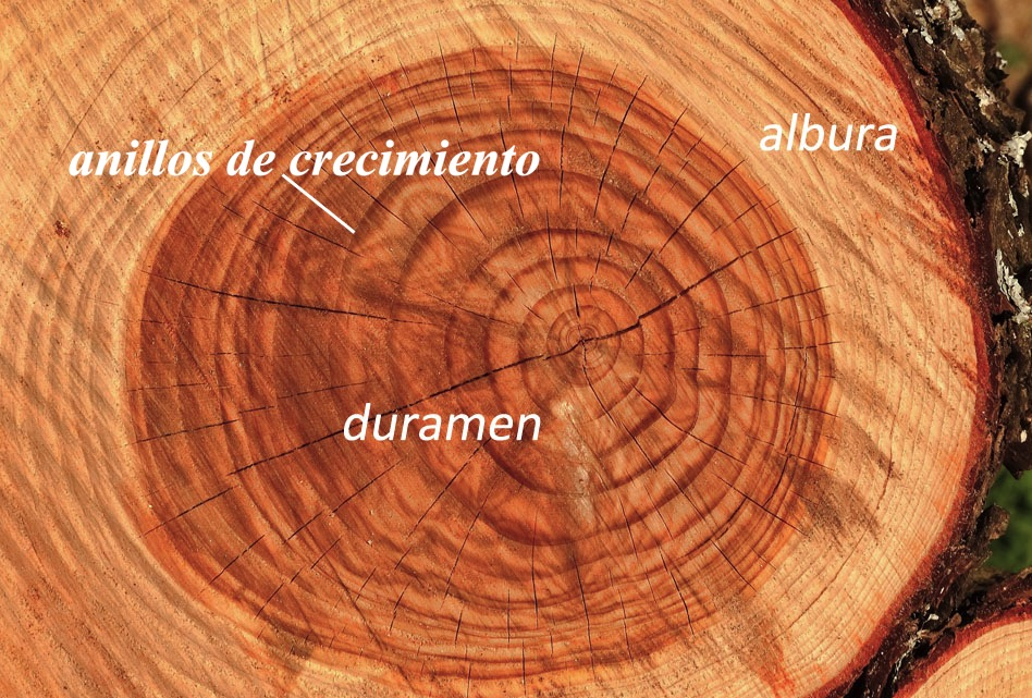 MAdera de albura, madera de duramen y anillos de crecimiento